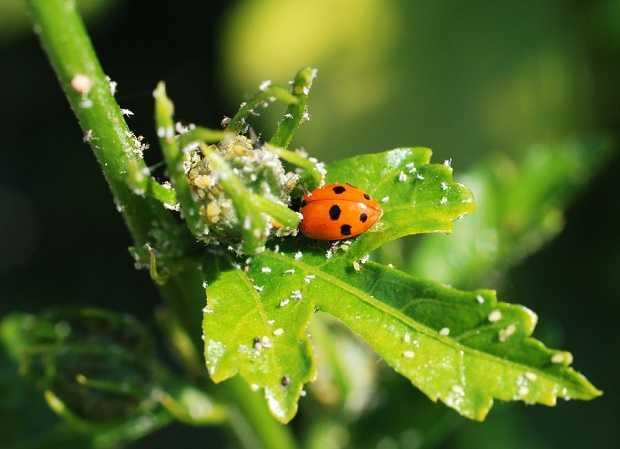 Rimedi fai da te contro afidi e cocciniglia idee green - Rimedi per le formiche in casa ...