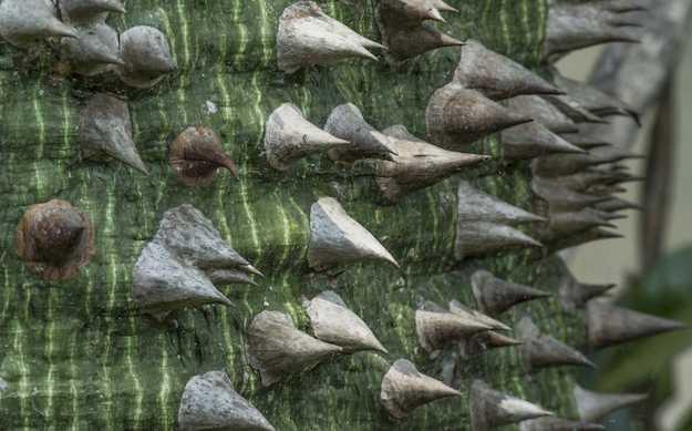 tronco con spine Chorisia speciosa
