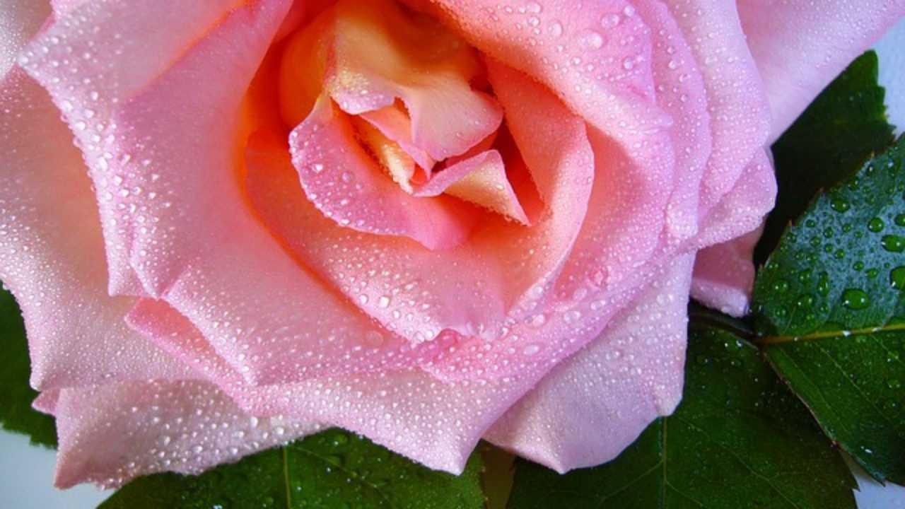Rose Fai Da Te acqua di rose fai da te, le istruzioni - idee green