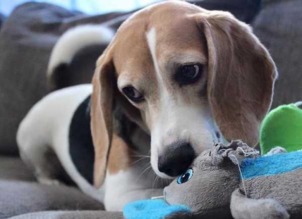 beagle nano2
