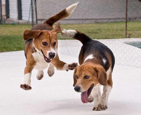 beagle nano5