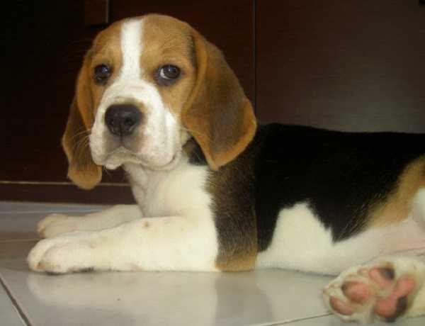 beagle nano6