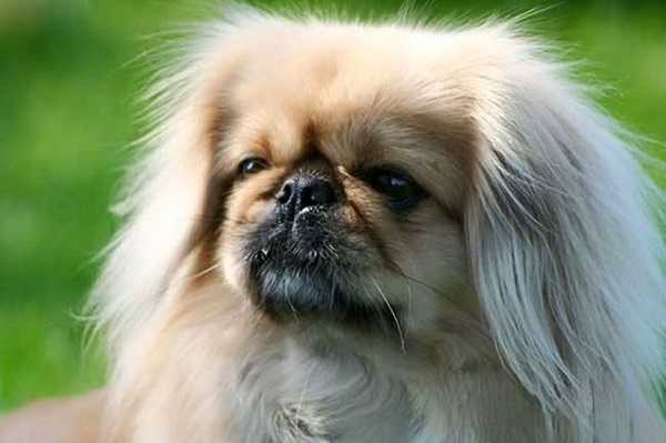 Cane pechinese carattere e origini idee green - Quando fare il primo bagno al cane ...
