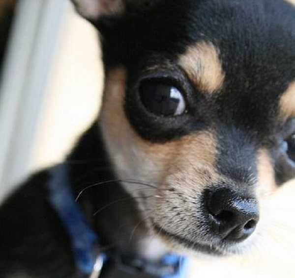 Chihuahua Toy: addestramento e cure