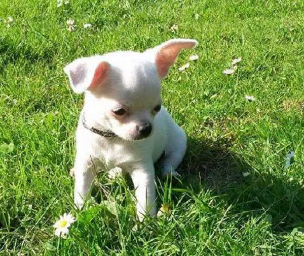Chihuahua Toy: aspetto fisico