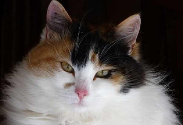 gatto bobtail giapponese2
