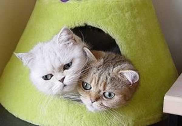 gatto persiano1
