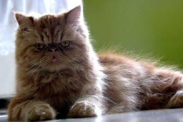 Gatto persiano il perfetto felino domestico, adatto per bambini, per  anziani, per coccoloni. E\u0027 frutto di un lavoro di selezione fatto dagli  allevatori che