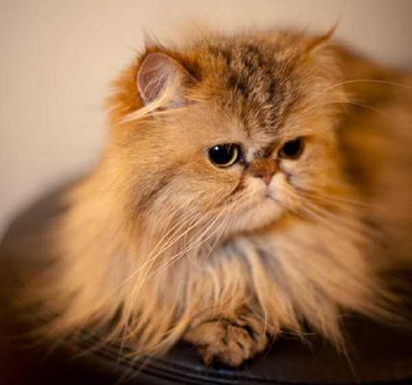Favorito Gatto persiano: carattere e prezzo - Idee Green QG41