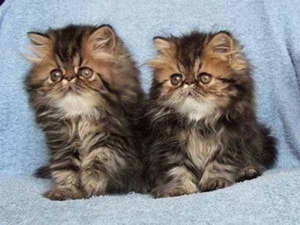 gatto persiano6