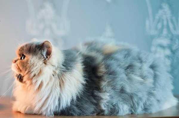 gatto persiano7