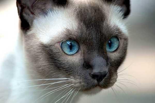 gatto siamese2