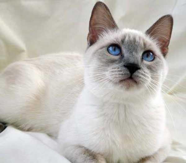 da incroci con gatti di altre razze sono nate le altre colorazioni.  Colori a parte, il gatto Siamese d\u0027oggi ha il muso meno rotondo e il  mantello in