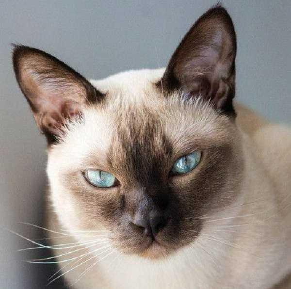 gatto siamese5