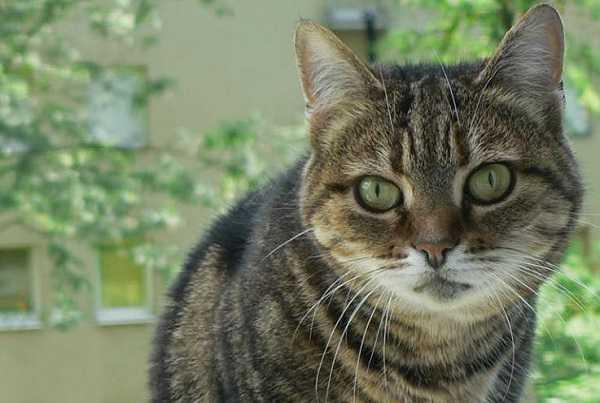 gatto soriano1