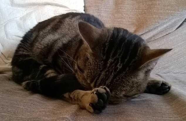 gatto soriano5