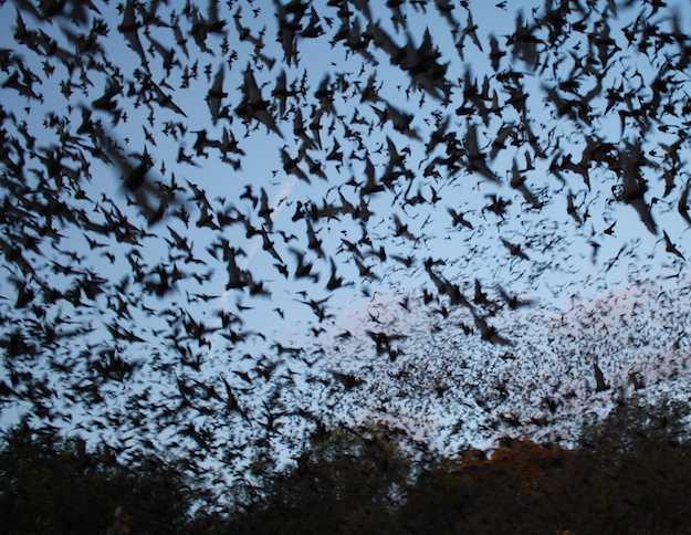 pipistrelli zanzare