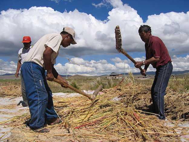 quinoa semina