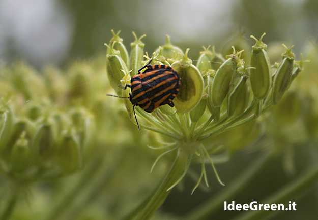 cimici insetti