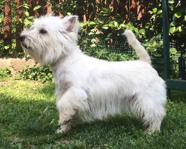 cani mini west highland white terrier