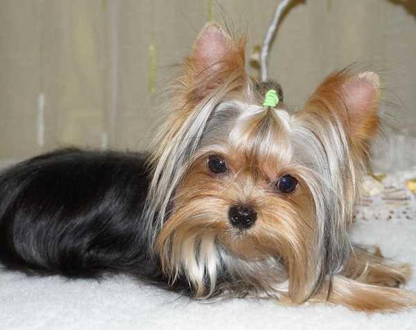 Cani piccolissimi, quasi portatili - Idee Green