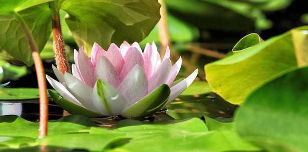 come coltivare il fiore di loto