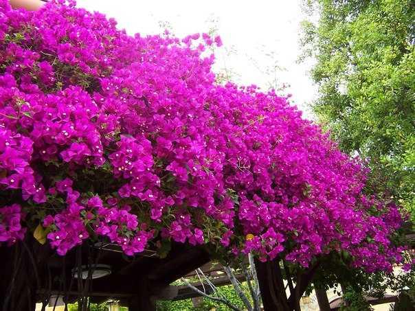 Come coltivare la bouganville idee green for Bouganville in vaso