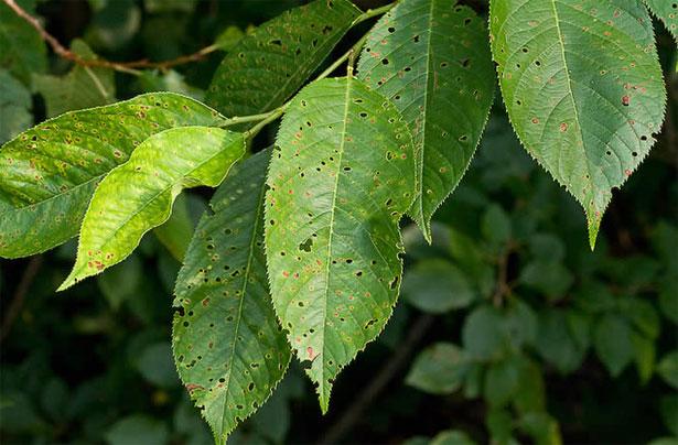 foglie di ciliegio colpite dal corineo delle drupacee