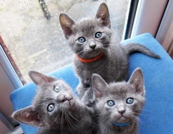gatto korat1