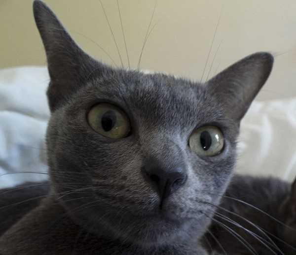 gatto korat4