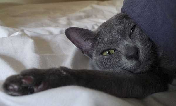 gatto korat5