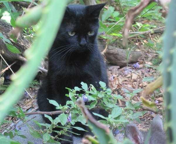gatto nero3