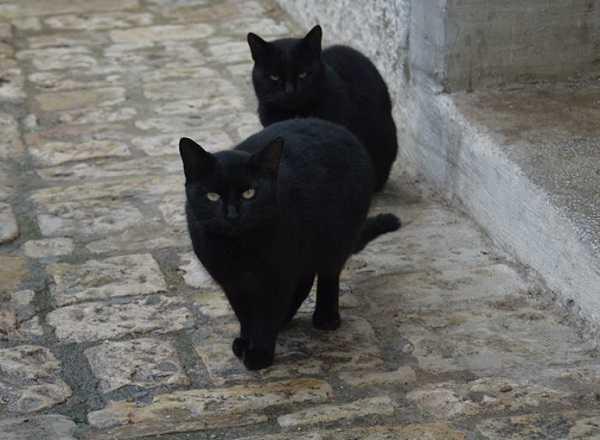 gatto nero6
