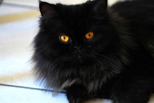 gatto persiano4