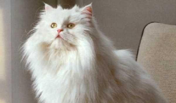 gatto persiano5