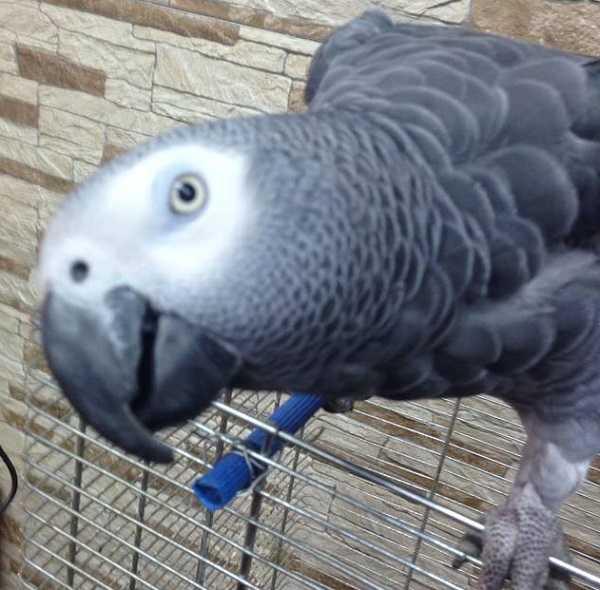 pappagalli domestici cenerino