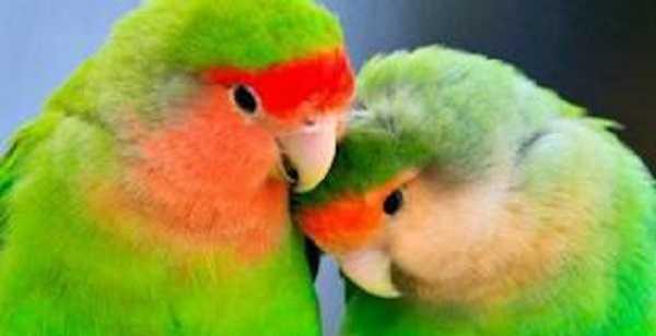 pappagalli domestici inseparabili