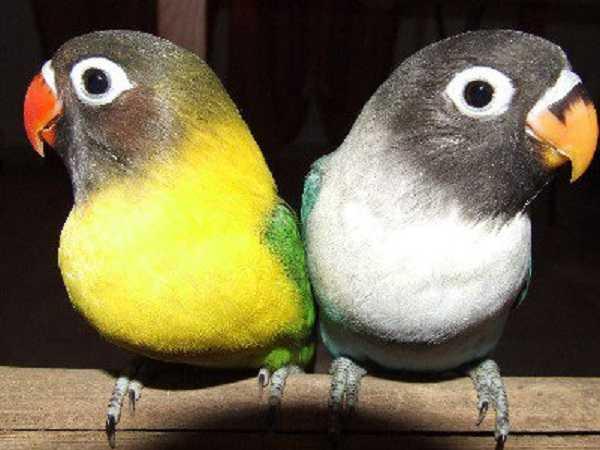 pappagalli domestici inseparabili2