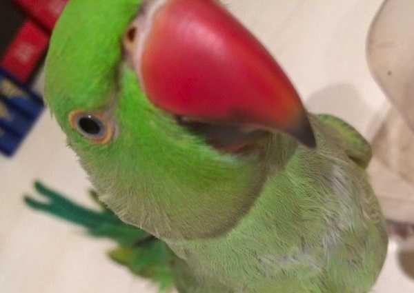 pappagalli domestici parrocchetti1