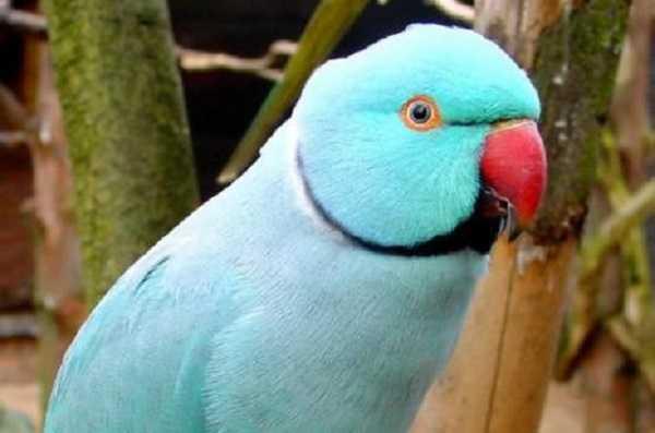 pappagalli domestici parrocchetti2