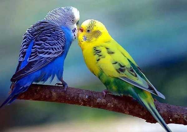 pappagalli domestici1