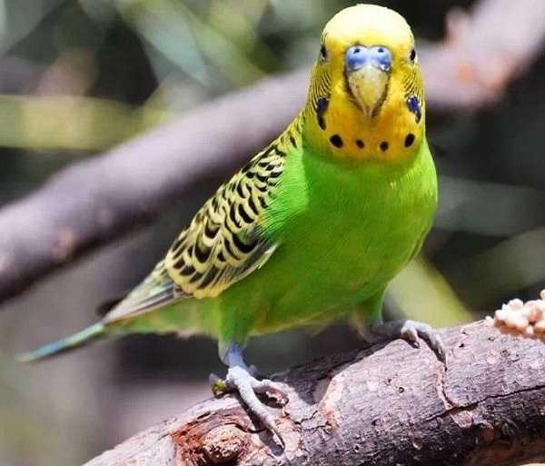 pappagalli domestici2