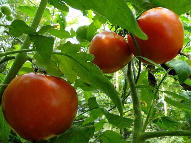 proteggere i pomodori dal sole