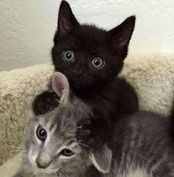 pulci gatto1