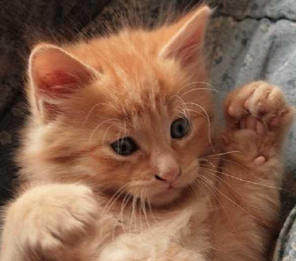 pulci gatto2