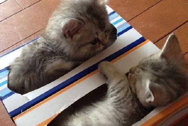pulci gattini