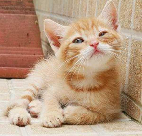 pulci gatto4