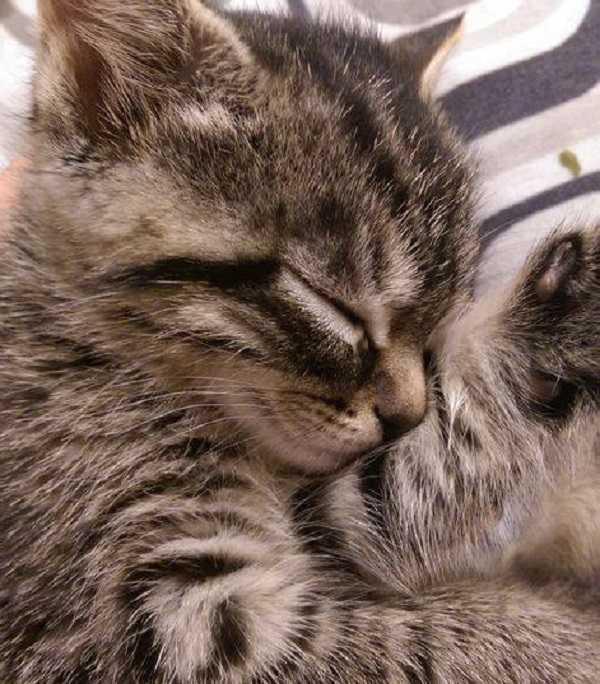 pulci gatto5