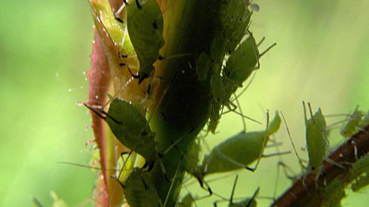 Combattere Afidi Delle Rose rimedi contro gli afidi: prevenzione e intervento - idee green