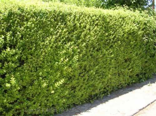 Siepe Giardino idee : La siepe di ligustro in giardino - Idee Green